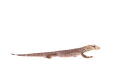 Clouded Monitor, Varanus nebulosus, on white Royalty Free Stock Photos