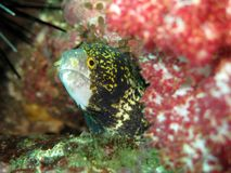 Clouded Moray Eel - Echidna nebulosa Stock Images