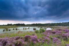 Clouded sky over swamp and flowering heather Royalty Free Stock Images