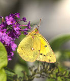 Clouded Sulfur Butterfly. Profile view of Clouded Sulfur Butterfly on Butterfly Bush Royalty Free Stock Photo