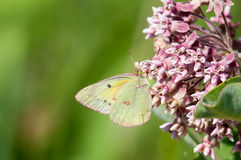 Clouded Sulphor. Clouded Sulphur on a wildflower stock photos
