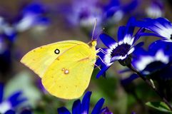Clouded sulphur on blue flowers. Close up of a beautiful yellow clouded sulphur butterfly on blue flowers royalty free stock photos