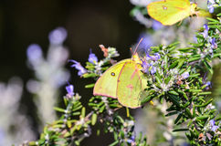 Clouded Sulphur Butterflies Stock Image
