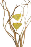 Clouded Sulphur butterflies landed on branches, Colias philodice Royalty Free Stock Photos