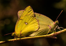 Clouded sulphur butterflies mating Stock Photo