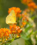 Clouded Sulphur butterfly. Feeding on Butterflyweed Royalty Free Stock Image
