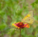 Clouded Sulphur Butterfly on Blanket Flower Stock Photo