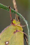 Clouded sulphur butterfly closeup Stock Photography