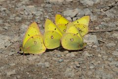 Clouded Sulphur Butterfly - Colias philodice. Clouded Sulphur Butterflies collecting minerals from the gravel path. Also known as a Common Sulphur. Carden Alvar stock photo