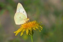 Clouded Sulphur Butterfly - Colias philodice. A Clouded Sulphur Butterfly is collecting nectar from a Common Dandelion. Hanlan`s Point, Toronto, Ontario, Canada stock photos