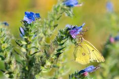 Clouded Sulphur Butterfly - Colias philodice. Clouded Sulphur Butterfly collecting nectar from a Common Viper's Buglos flower. Also known as a Common royalty free stock photography