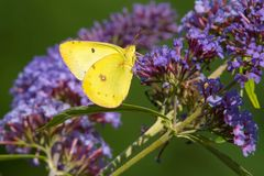 Clouded Sulphur Butterfly - Colias philodice. Clouded Sulphur Butterfly collecting nectar from a purple Butterfly Bush flower. Also known as a Common Sulphur stock photo