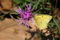 Clouded Sulphur Butterfly - Colias philodice. Clouded Sulphur Butterfly collecting nectar from a Spotted Knapweed flower. Also known as a Common Sulphur. Tommy royalty free stock photos