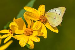 Clouded Sulphur Butterfly - Colias philodice. Clouded Sulphur Butterfly collecting nectar from a yellow False Sunflower. Also known as a Common Sulphur. High royalty free stock photography