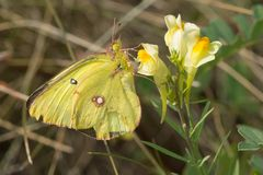 Clouded Sulphur Butterfly - Colias philodice. Clouded Sulphur Butterfly collecting nectar from a Yellow Toadflax flower. Also known as a Common Sulphur stock image