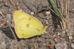 Clouded Sulphur Butterfly - Colias philodice. Clouded Sulphur Butterfly collecting salt and minerals from the gravel path. Also known as a Common Sulphur. Tommy royalty free stock images