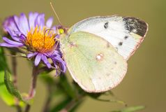 Clouded Sulphur Butterfly - Colias philodice. Female Clouded Sulphur Butterfly collecting nectar from a purple aster flower. Also known as a Common Sulphur royalty free stock images