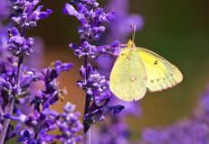 Clouded Sulphur Butterfly - Colias philodice. Clouded Sulphur Butterfly perched on a purple flower. Also known as a Common Sulphur. Rosetta McClain Gardens stock images