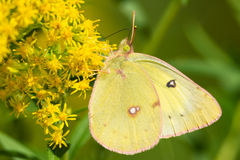 Clouded Sulphur Butterfly Royalty Free Stock Photos