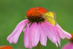 Clouded Sulphur Butterfly - Colias philodice. Clouded Sulphur Butterfly collecting nectar from a Purple Coneflower. Also known as a Common Sulphur. Edwards stock photography