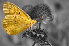 Clouded Sulphur butterfly feeding on Indian blanket flower Stock Photos