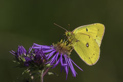 Clouded Sulphur Butterfly. Gathering nectar from a thistle flower Royalty Free Stock Images