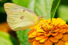 Clouded Sulphur Butterfly - Colias philodice stock image