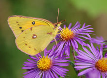 Clouded Sulphur Butterfly on Purple Asters Stock Image