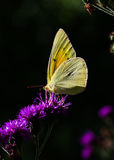 Clouded Sulphur Butterfly. On thistle flower Stock Photos