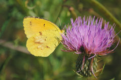 Clouded Sulphur Butterfly on Virginia  Thistle. Beautiful yellow Clouded Sulphur butterfly nectars on a purple Thistle in a meadow in Virginia. Thistles are Stock Image
