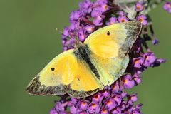 Clouded Sulphur Colias philodice Butterfly. On Butterfly Bush Flowers royalty free stock photo