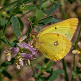 Clouded Sulphur. Resting on a wild flower Stock Photo
