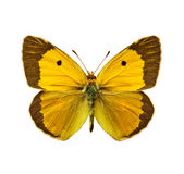 Clouded Yellow. Isolated moth - Clouded Yellow, Colias croceus butterfly Stock Photos