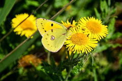 Clouded Yellow Butterfly - Colias Croceus Royalty Free Stock Images