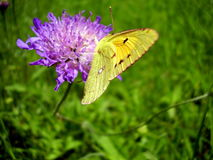 Clouded Yellow Butterfly Stock Images