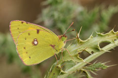 Clouded yellow Butterfly (Colias croceus). A Clouded yellow Butterfly (Colias croceus)   perched on a thistle Royalty Free Stock Photography