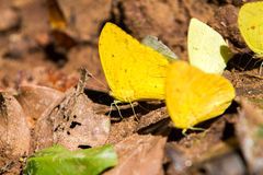 Clouded Yellow butterfly Stock Photography
