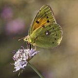 The Clouded Yellow butterfly from Europe Royalty Free Stock Photos