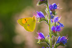 Clouded yellow butterfly feeds nectar. Common clouded yellow butterfly,Colias croceus, feeds nectar out of a purple flower Stock Photo