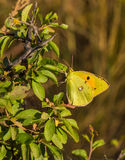 Clouded Yellow Butterfly on green bush Stock Image