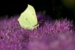 Clouded yellow butterfly. Handsome butterfly (Clouded Yellow) on purple flowers Royalty Free Stock Photography