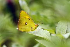 Clouded Yellow Butterfly on the leaf. Yellow butterfly on green leaves. Green background, yellow butterfly, natural scenery. Elegant symbol butterfly. Sarı stock photos