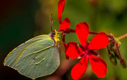 Clouded Yellow Butterfly. Macro of yellow butterfly on red flower Stock Photography