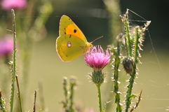 Clouded yellow butterfly Stock Image