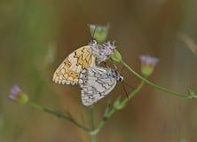 Clouded Yellow. Butterfly,Kalloni salt pans,Lesvos stock photos