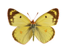 The Clouded Yellow. (Colis hyale). Migratory butterfly Stock Photos