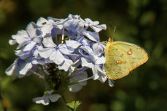 Cloudless Sulphur Butterfly. Adult Cloudless Sulphur Butterfly Feeding On Plumbago Flowers Royalty Free Stock Images