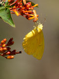 Cloudless Sulphur Butterfly Collecting Nectar Stock Image