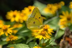 Free Cloudless Sulphur Butterfly Feeding On Yellow Flower Royalty Free Stock Image - 140738426