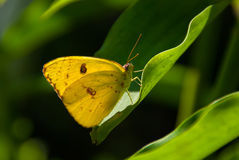 Cloudless Sulphur butterfly (Phoebis sennae) Royalty Free Stock Image